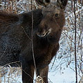 Young Moose 4 by Joseph Marquis