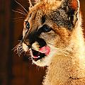 Young Mountain Lion by Don and Bonnie Fink