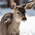 Young Mule Deer Fawn In Yosemite National Park by Natural Focal Point Photography