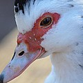Young Muscovy Closeup by Maria Urso