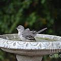 Young Northern Mockingbird In Bird Bath by Ruth  Housley