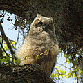 Young Owl. by Evelyn Hill