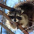 Young Raccoon In Birch Tree by Karen Adams