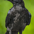 Young Raven by Tim Grams