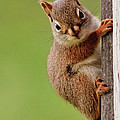 Young Red Squirrel by Cheryl Baxter