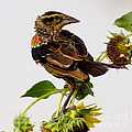 Young Redwing In The Wind by Robert Frederick