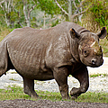 Young Rhinoceros by Les Palenik