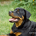 Young Rottweiler by John Daniels