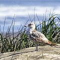 Young Seagull No. 2 by Belinda Greb