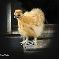 Young Silkie by George Pedro