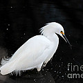 Young Snowy Egret by Susan Wiedmann
