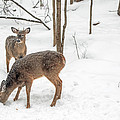 Young Spike Buck And Doe Whitetail Deer In Snowy Woods by Mother Nature