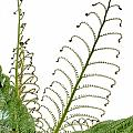 Young Spring Fronds Of Silver Tree Fern On White by Stephan Pietzko