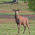 Young Stag by Scott Carruthers