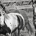 Young Stallions by Alice Gipson