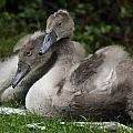 Young Swans by Barry Shepherd