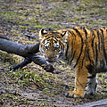 Young Tiger by Thomas Woolworth