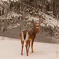 Young White Tailed Buck In Winter by Brenda Jacobs