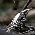 Young Woodpecker by Cheryl Baxter