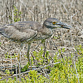 Young Yellow-crowned Night Heron by Anthony Mercieca