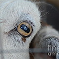 Your Friendly Neighborhood Goat 2 by Barb Dalton