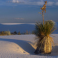 Yucca At White Sands by Dave Mills