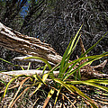 Pedernales Park Texas Yucca By The Dead Tree by JG Thompson