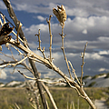 Yucca Pod by Susan See