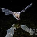 Yuma Myotis Bat by Anthony Mercieca
