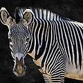 Z Is For Zebra by Juli Scalzi