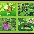 Zabulon Skipper Butterfly - Poanes Zabulon by Mother Nature