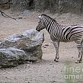 Zebra And Rock by Heather Jane