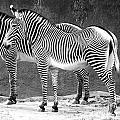 Zebra Black And White by Cheryl Del Toro