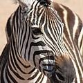 Zebra by Brandi Maher