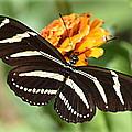 Zebra Butterfly Beauty 1 by Sheri McLeroy