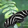 Zebra Butterfly by Carol Groenen