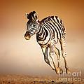 Zebra Calf Running by Johan Swanepoel