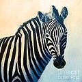 Zebra by Carolyn Jarvis