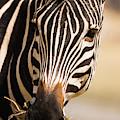Zebra by Cedric Favero - Vwpics