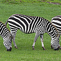 Zebra by Chris Smith