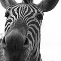Zebra Close-up by Ashley Balkan