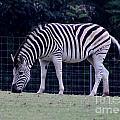Zebra by Connie Mueller