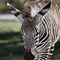 Zebra Crossing V7 by Douglas Barnard