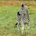 Zebra by David Gleeson