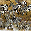 Zebra by Don Kuing