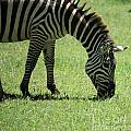 Zebra Eating Grass by Deborah Benbrook