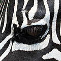 Zebra Eye by Linda Sannuti