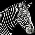 Zebra Faa Contest by John  Kolenberg