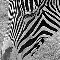 Zebra Face by Denise Mazzocco