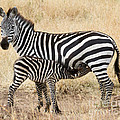 Zebra Family by Chris Scroggins